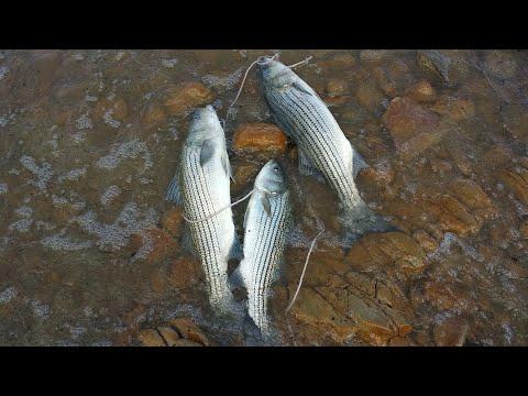 CASTAIC LAKE  fishing striper bass