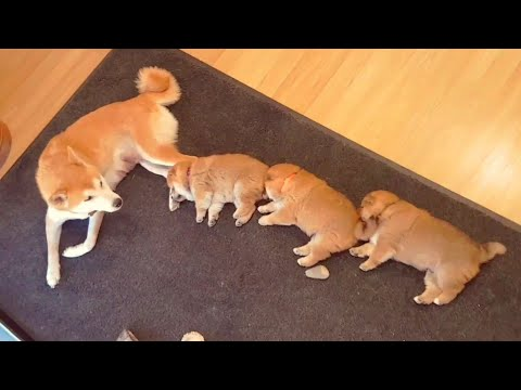 Shibe centipede - Shiba Inu puppies (with captions)