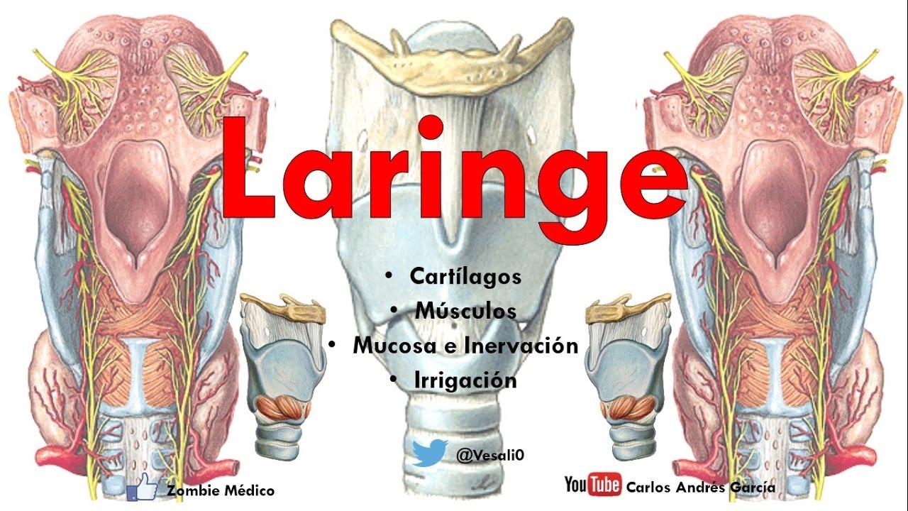 Anatomía - Laringe (Cartílagos, Músculos, Articulaciones, Arterias ...