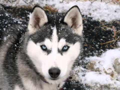 siberian-husky-dog-pictures