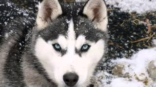Siberian Husky Dog Pictures