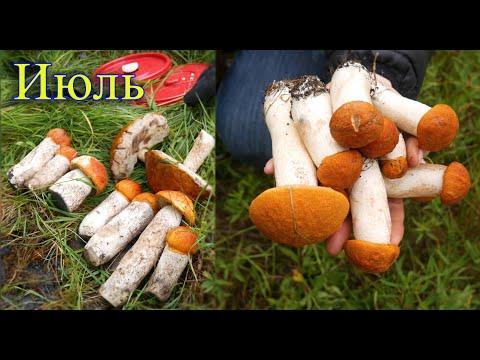 Грибы Июль (Московская область - 20 км от Москвы) Подмосковье