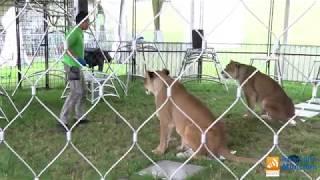 Alexander Lacey - Raubtierprobe auf der Circus Krone-Farm