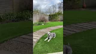 Schnoodle  Dog Breed   Meet Wilf  #Shorts