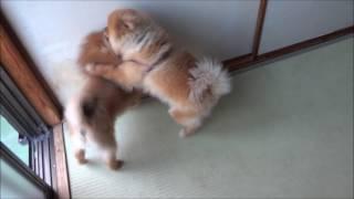 ライオンVSグリズリー ポメラニアンカンフー Pomeranian Kung Fu その44...