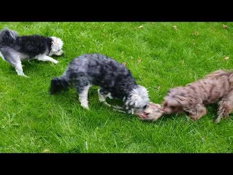 Löwchen dræber fasanhun