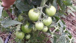 Хозяйство. Огород. Семья. Уличные томаты