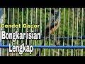 Cendet Gacor Bongkar Isian Cililin Kenari Lovebird Ciblek Greja Slendang Biru  Mp3 - Mp4 Download
