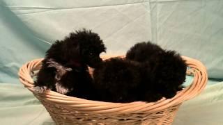Toy Poodles For Sale At Pet City.
