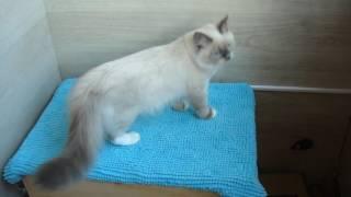Невский маскарадный котёнок из питомника Злато Зиберио. Дёма 4 месяца