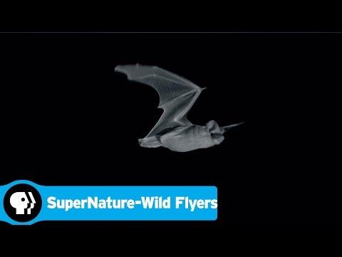 SUPERNATURE - WILD FLYERS   Bat vs Moth   PBS