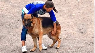 Немецкие Овчарки на Выставке собак. German Shepherd Dogs in Show.