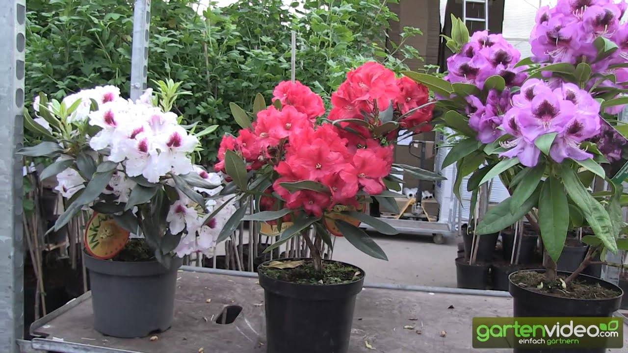 starke farben mit inkarho rhododendron youtube. Black Bedroom Furniture Sets. Home Design Ideas