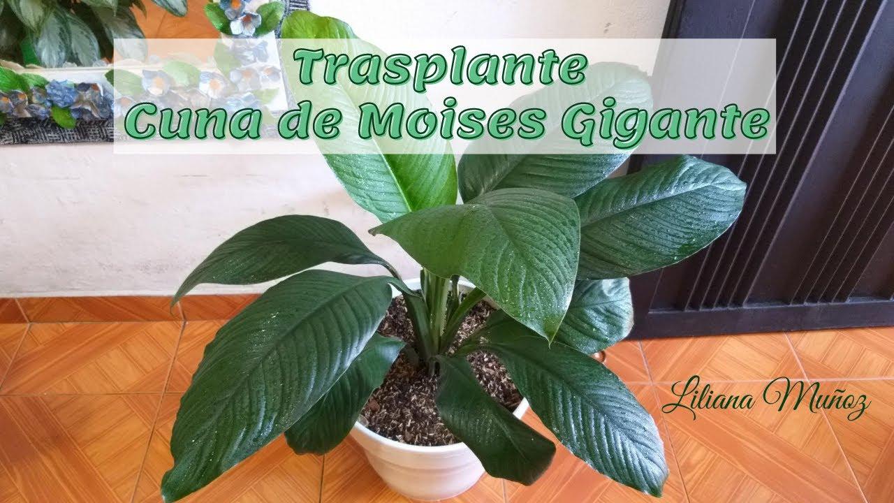 TRASPLANTE - GIGANTE / Liliana Muñoz