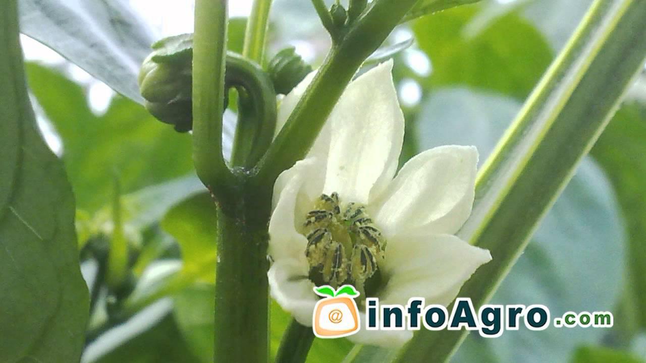 astuces pour cultiver le poivron 1 2 youtube. Black Bedroom Furniture Sets. Home Design Ideas