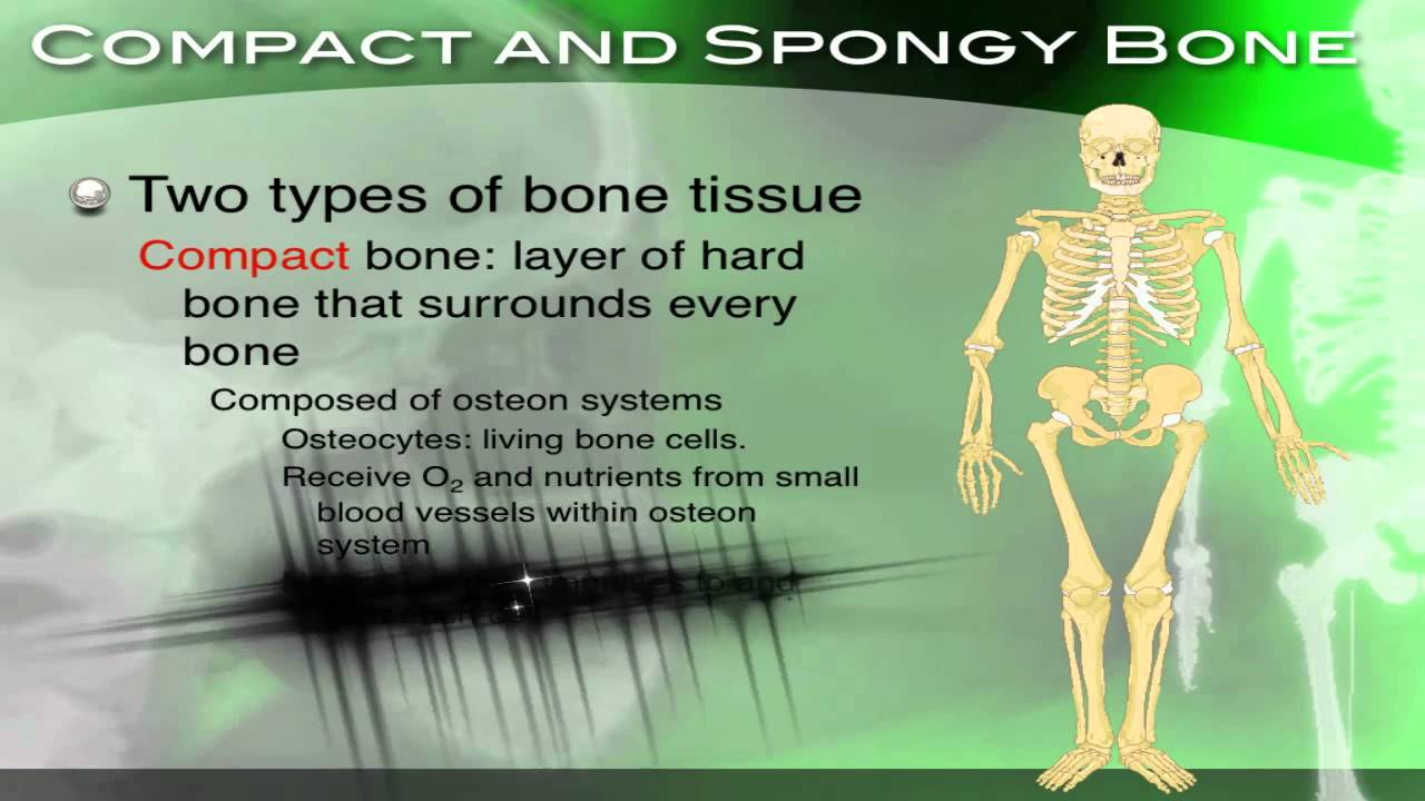 The Skeletal System Its Structure And Function Section 342 Youtube Human Body Bones Skeleton How They Work Diagrams