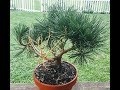 creating mugo pine bonsai tree from $5 nursery bush