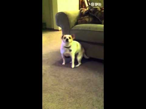 Cute dog dances to the lyrics: