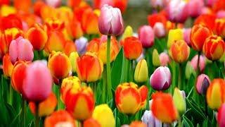 Camp superb de lalele, poze frumoase cu flori