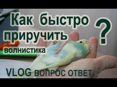 Как приручить волнистого попугая к рукам быстро