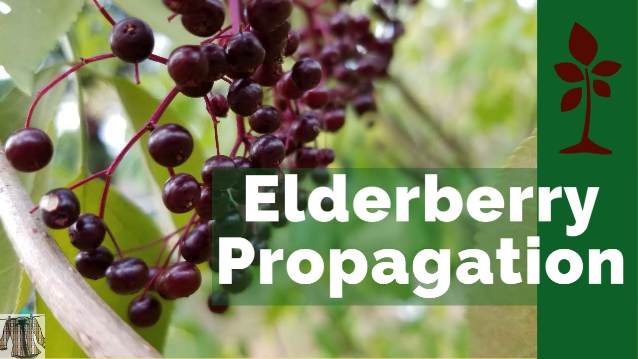 Elderberry Propagation From Clippings Youtube