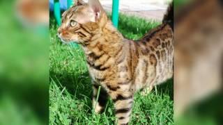 Питомник бенгальских кошек в СПб.