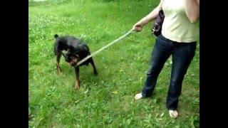Rottweiler Gryfek - Radosny Szczenior, Fundacja Rottka