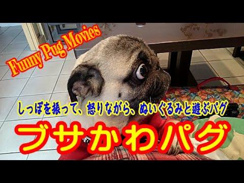 【犬 おもしろ、かわいい動画】Funny and cute dogs, Pug! ブサかわパグ、 しっぽをふって、怒りながら、遊ぶ!!!
