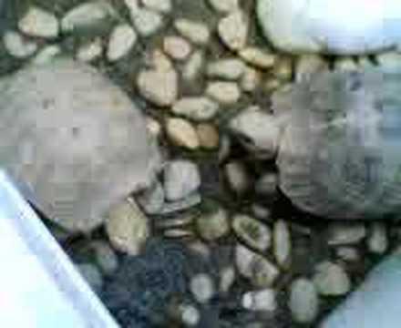 elongated tortoise fighting