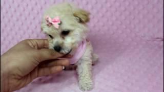Primavera -  Teacup Maltipoo Puppy in Puppy Heaven LA