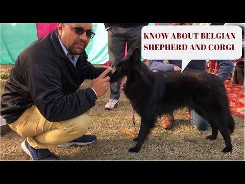 Know About Belgian Shepherd and Corgi - Bhola Shola