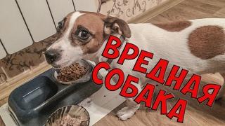 ВРЕДНАЯ СОБАКА НЕ ХОЧЕТ ЕСТЬ | BAD DOG ISN'T HUNGRY