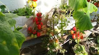 томаты в мешках, попытка не пытка,