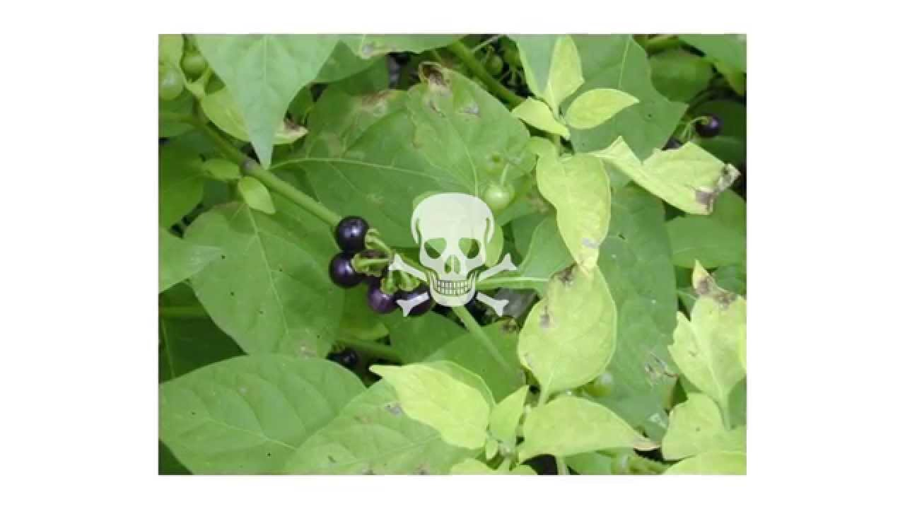 Image source plantsam com - Plants Transport Of Defense Compounds From Source To Sink Learnt Lessons From Glucosinolates