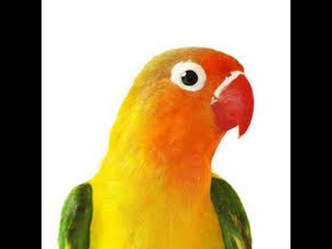 Different types of lovebird parrots 03129442750 Zain Ali farming in Pakistan