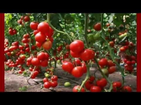 ПОМИДОРЫ - Ранние сорта помидор