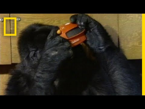 Watch Koko the Gorilla Use Sign Language in This 1981 Film | National Geographic