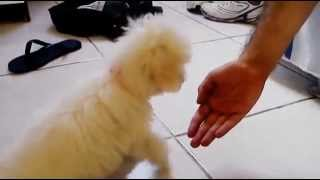 Poodle Toy Filhote 4 Meses (toy Poodle Puppy 4 Months)