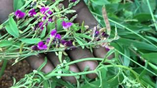Botanicals for Leaf Curl of Tomato- Pankaj Oudhia's TAgri.K Documentation 1990-2012