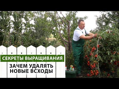 Томаты помидоры выращивание, уход, выращивание рассады