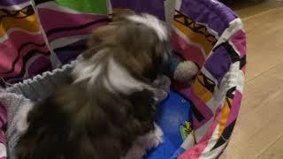 Ши-тцу Собака в доме 4