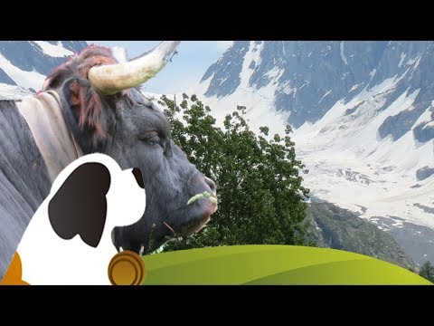 Trailer Alpaufzug Guggialp