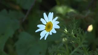 Flor de Manzanilla 01