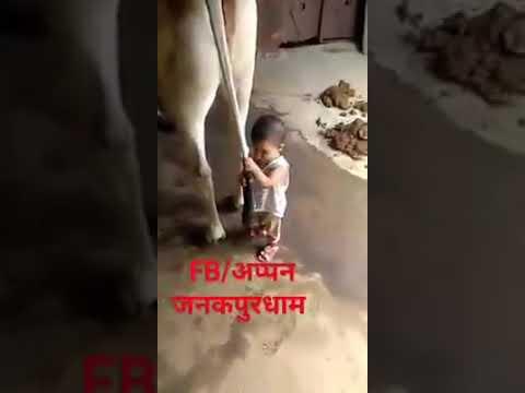 Budak hisap susu lembu
