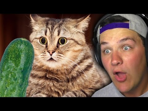 CATS ARE SCARED OF CUCUMBERS?!! | Google Feud