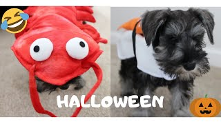 Cute MINIATURE SCHNAUZER Puppy Tries on LION, SUSHI & LOBSTER Halloween Costumes! Part 1