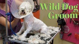 How to groom a wild dog