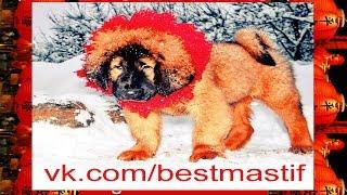 Тибетские Мастифы зима 2015