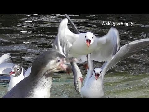 Penguin Manages To Keep His Fish Safe From Thieving Seagull