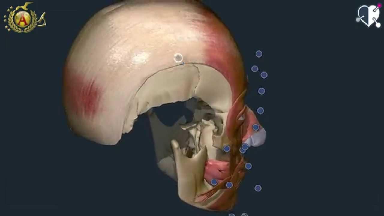 Muscoli della testa - YouTube